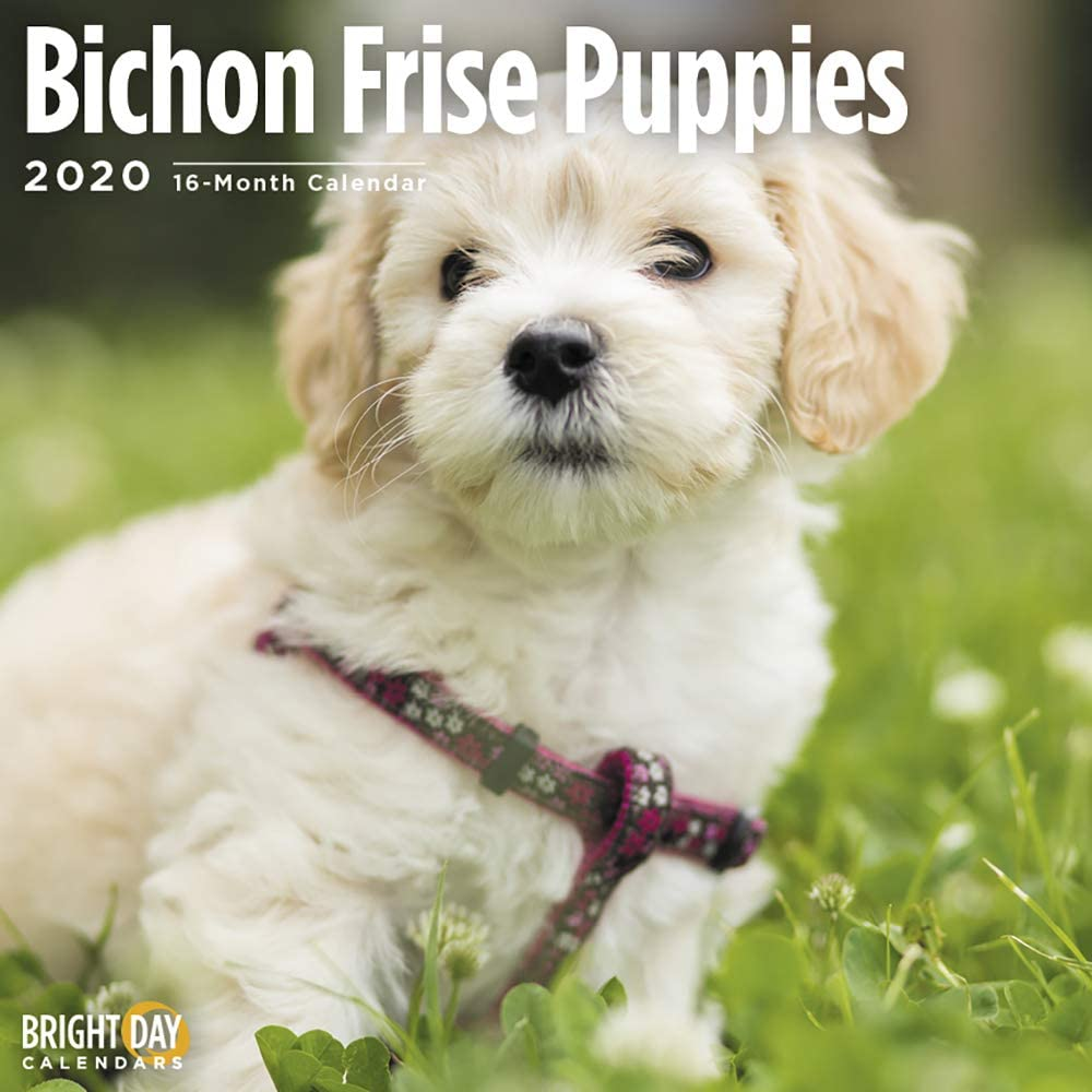 2020 Bichon Frise Puppies Wall Calendar by Bright Day, 16 Month 12 x 12 Inch, Cute Dogs Puppy Animals Curly Lap Tenerfe Canine