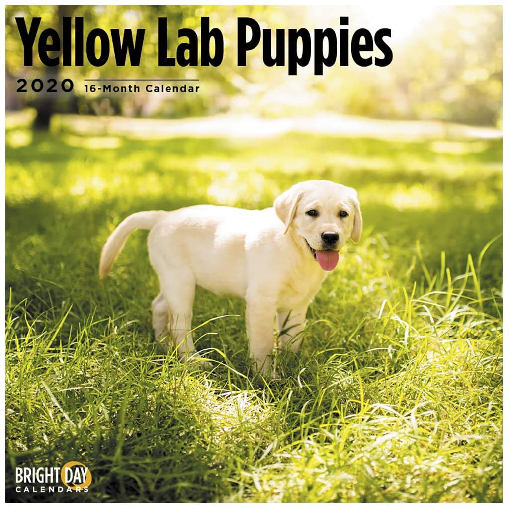 2020 Yellow Lab Puppies Wall Calendar by Bright Day, 16 Month 12 x 12 Inch, Cute Dogs Puppy Animals Military Police Rescue Canine