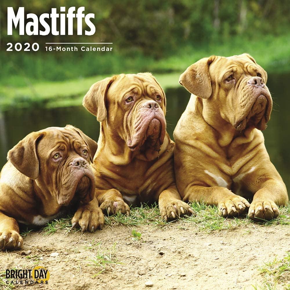 2020 Mastiffs Wall Calendar by Bright Day, 16 Month 12 x 12 Inch, Cute Dogs Puppy Animals