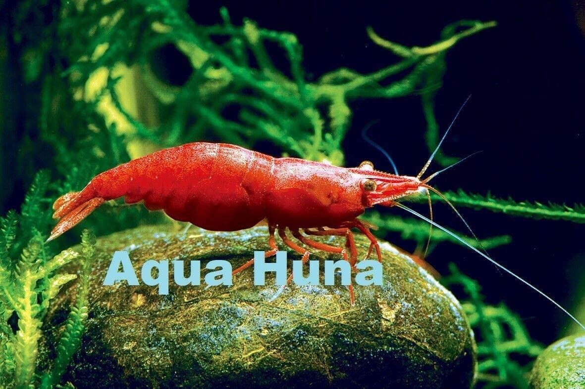 Aqua Huna Fire Red Cherry Shrimp - 8 Pack