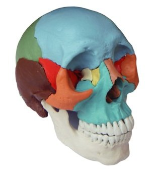 Wellden Medical Anatomical Adult Osteopathic Skull Model, 22-Part, Life Size, Didactic Colored