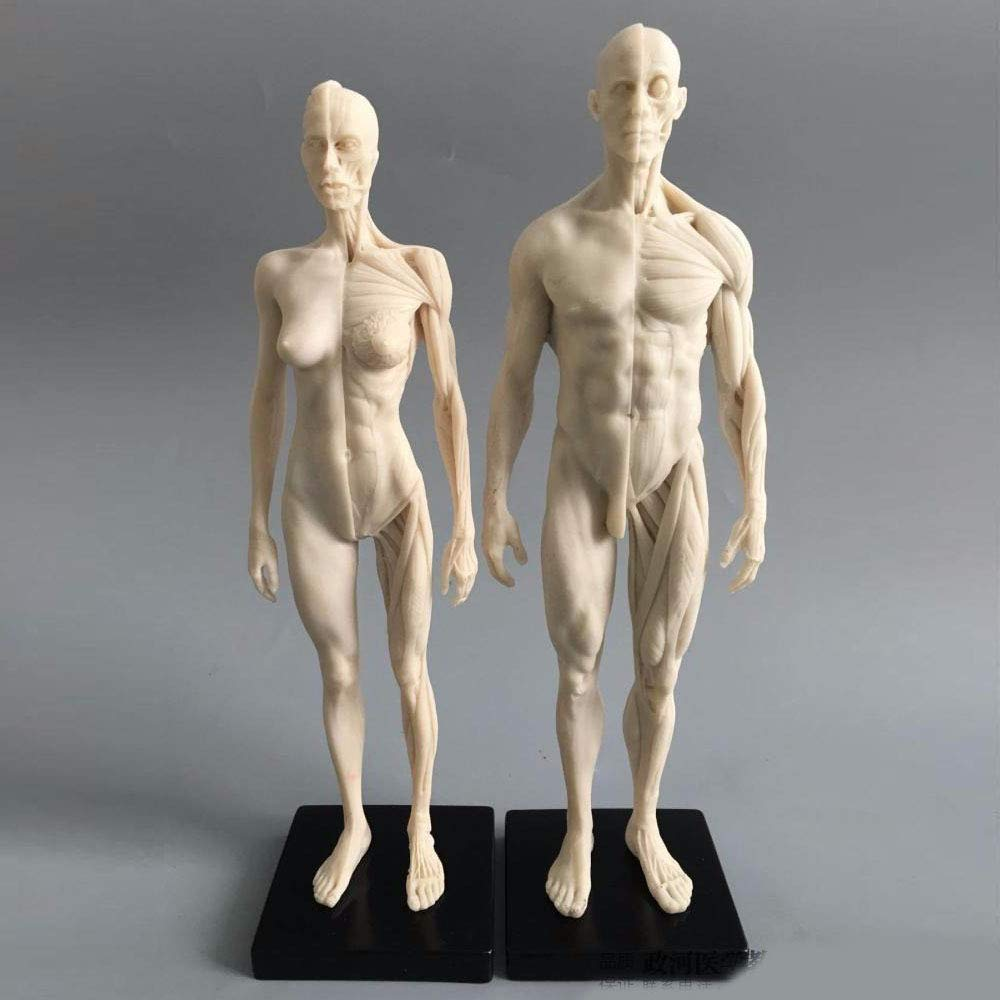 11inch Human Anatomical Model Art Mannequin Musculoskeletal Structure of Painting Sculpture White Body (Male+Female )