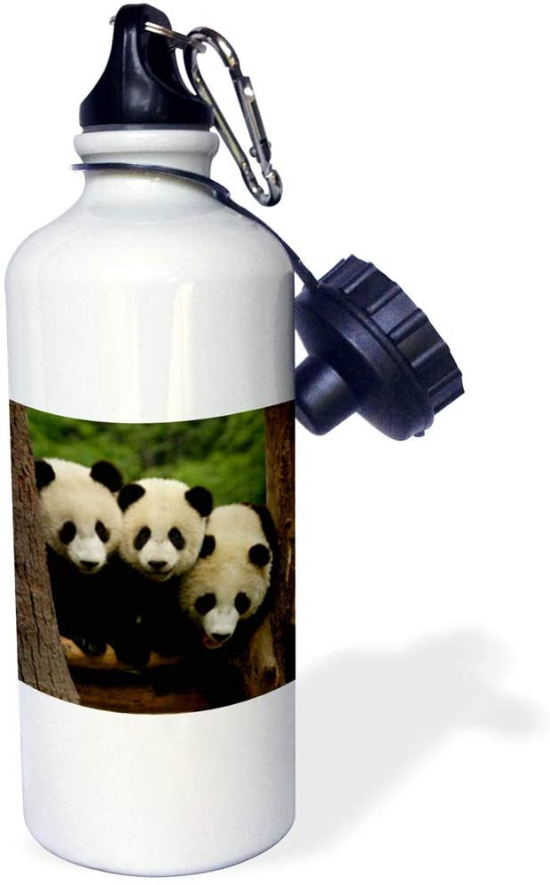 3dRose Danita Delimont - Bears - Giant Panda Bears, Wolong China Conservation, CHINA-AS07 POX0378 - Pete Oxford - 21 oz Sports Water Bottle (wb_70209_1)