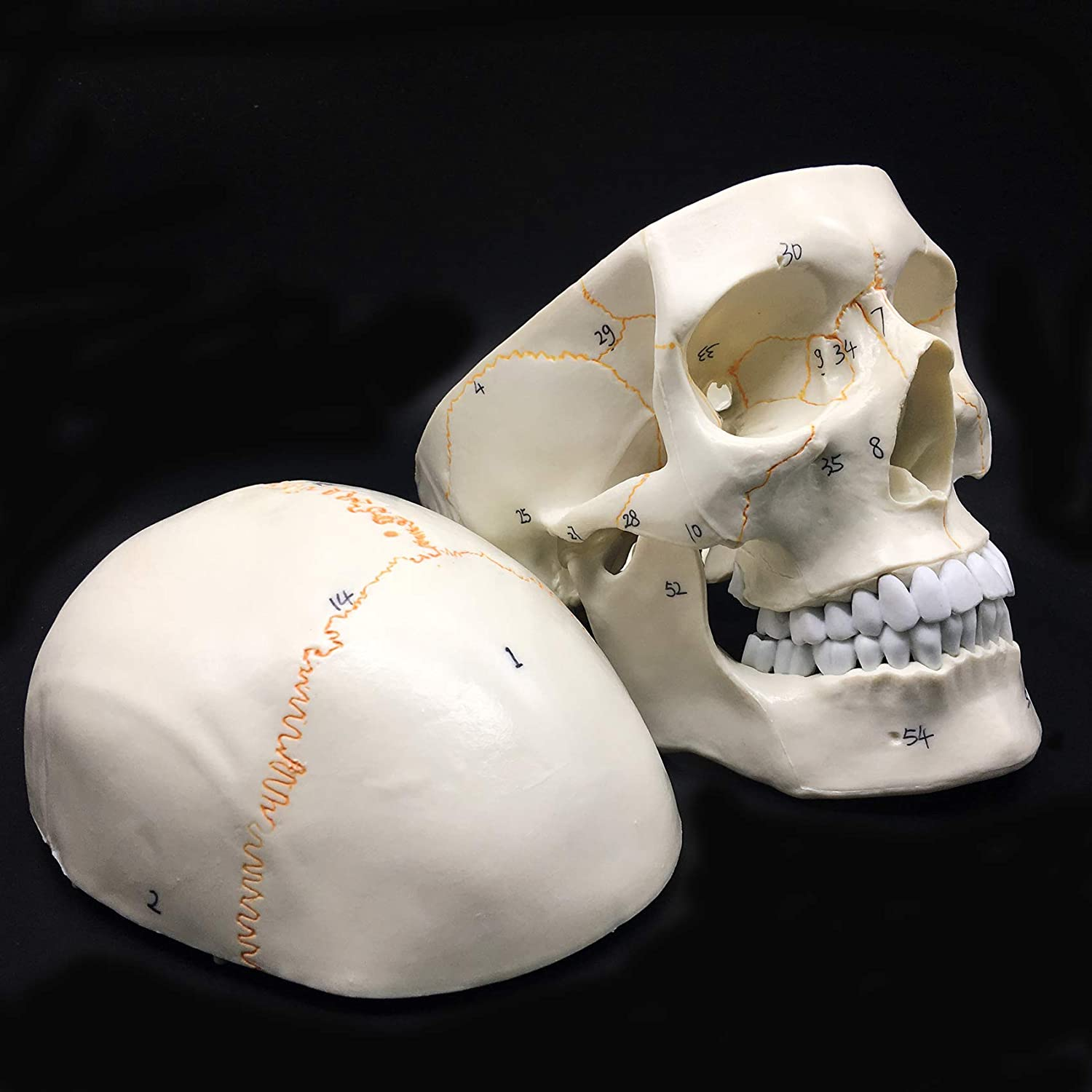 Human Skull Anatomical Model 3-Part Life-Size Anatomy for Science Classroom Study Display Teaching Medical Model