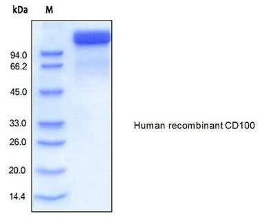 7439-50 - Size : 50 micrograms - Human CellExp SEMA4D /CD1, Human recombinant - Each (50micrograms)