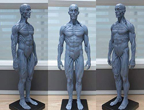 APHRODITE 1:6 30cm PU Human Skeleton Anatomical Model Anatomy Skull Sculpture Head Body Muscle