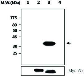 MAB2706 - Size : 100 microliters - Anti-PTPRT Mouse Monoclonal Antibody [Clone: AFT20] - Each (100microliters)