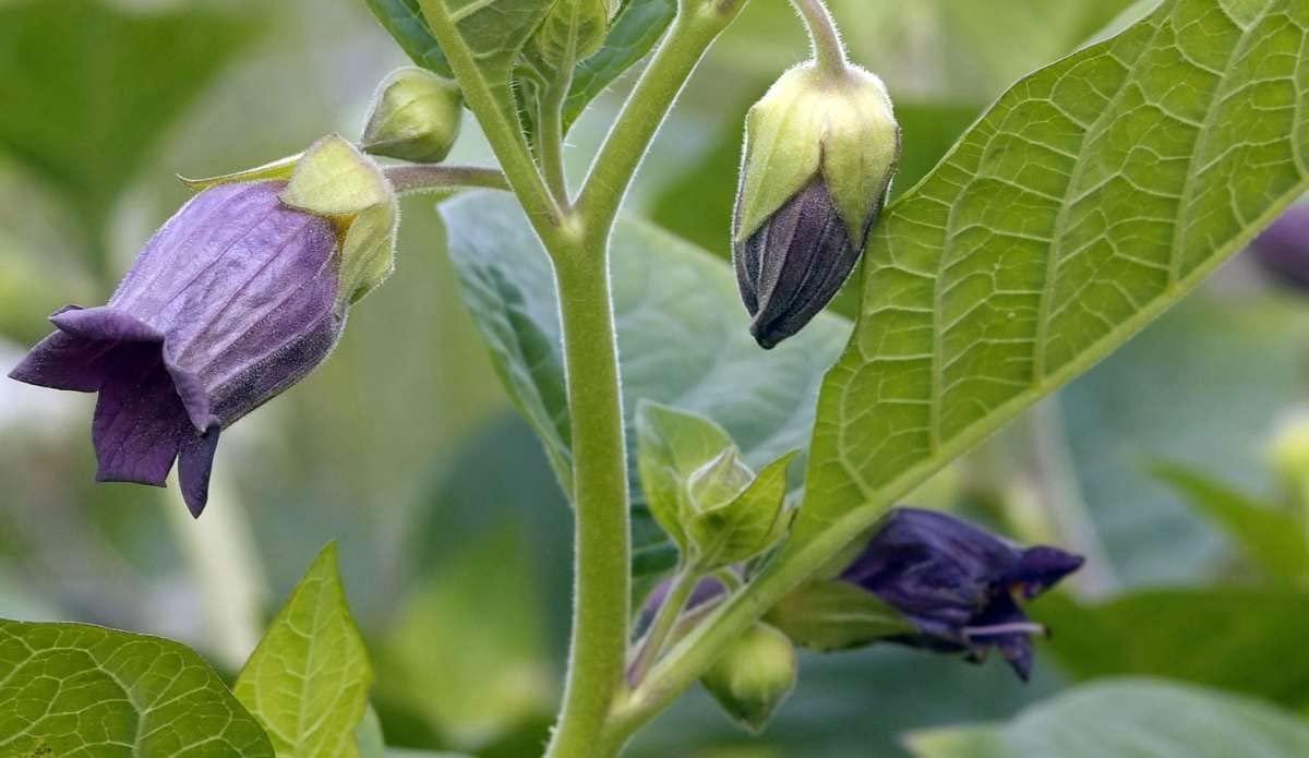 Asklepios-seeds - 500 Seeds Atropa Belladonna, Deadly Nightshade Wildflower by Asklepios-seeds