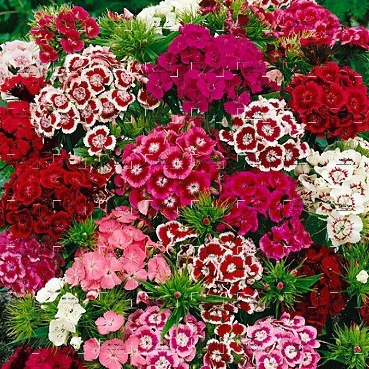 Flower Seeds Russian Carnation Turkish Mixed Coloring, Turkish Carnation Seeds from Russia