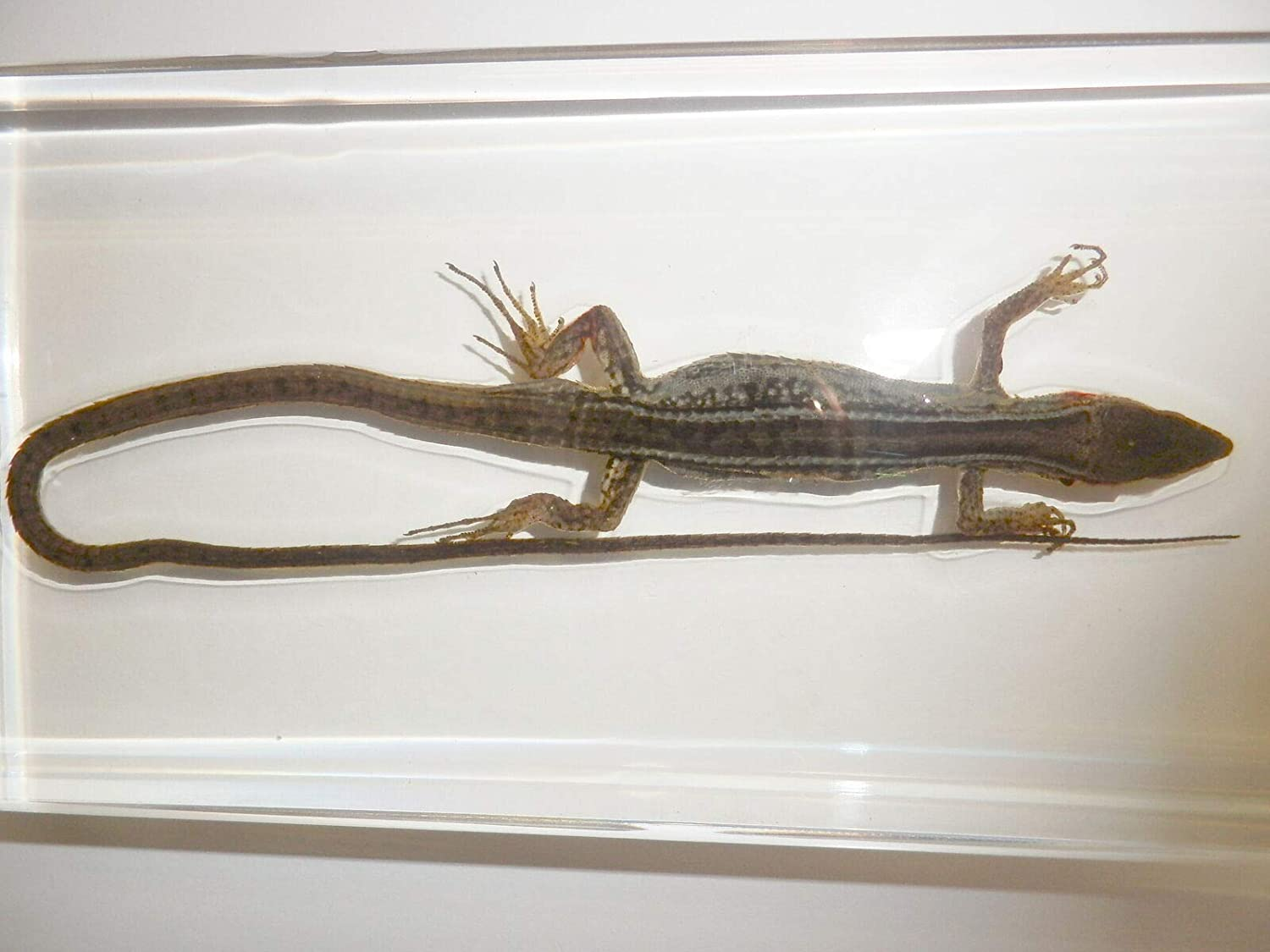 Siam Insects Asian Grass Lizard Takydromus sexlineatus Clear Block Education Animal Specimen