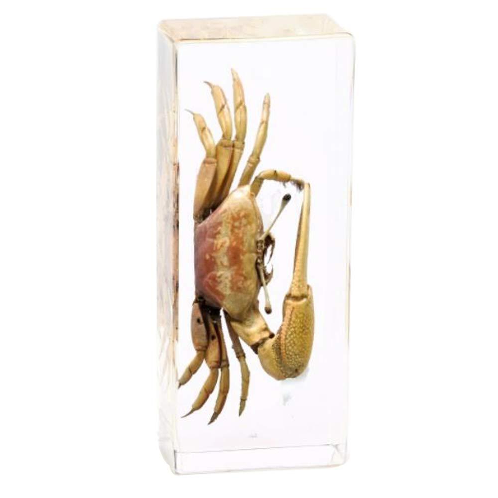 Cherish XT Real Marine Animal Crab Specimen Paperweight Science Classroom Taxidermy for Science Education Include Uca arcuata,Uca lactea lactea,Uca crassipes Specimen (Uca arcuata)