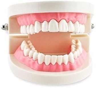Dental Power 1 Piece Dental Dentist Flesh Pink Gums Standard Teeth Tooth Teach Model US Stock by Dental Power