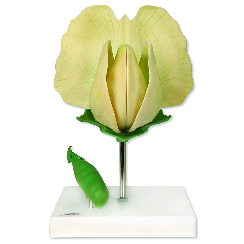 3B Scientific T21026 Pea (Pisum sativum), 10