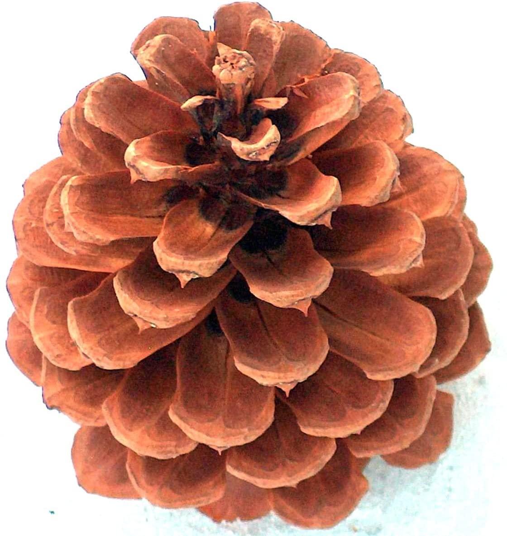 16 Plus Pinecones 4