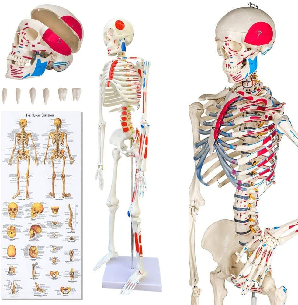 NACHEN Human Torso Skeleton Model Skeleton Model Human Anatomy Model 85cm Removable Arms and Legs Model for Teaching Learning Resources