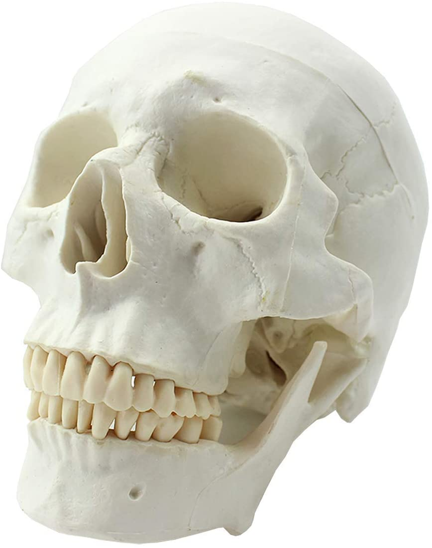 LXX Life Size Human Skull Anatomical Model Teaching Medical Skeleton Halloween Decoration Statue