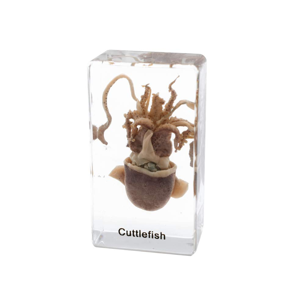 Squid Cuttlefish Animal Specimen in Acrylic Block Paperweights Sea Specimen Science Classroom Specimens for Science Education
