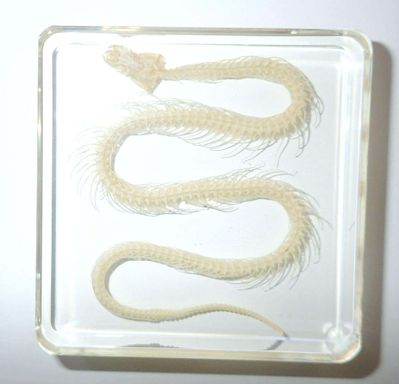 Water Snake Skeleton in Clear Square Block School Education Animal Specimen