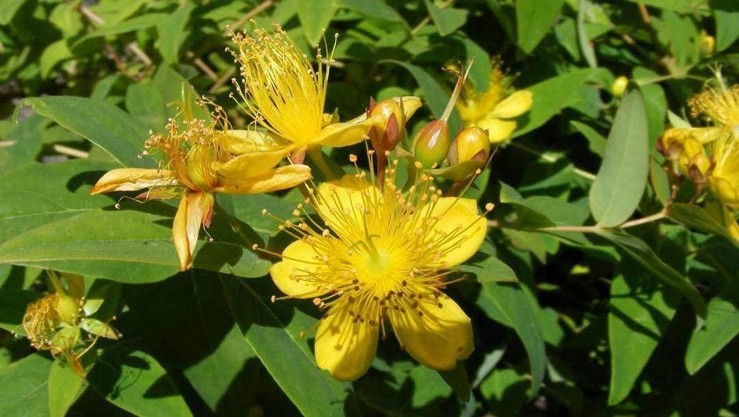 Groundcover - Live St. Johns Wort aka Hypericum calycinum Plant – VV03