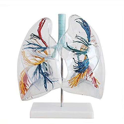 Alkita Transparent Human Lung Segment Model Anatomical Medical Lung Teaching Model
