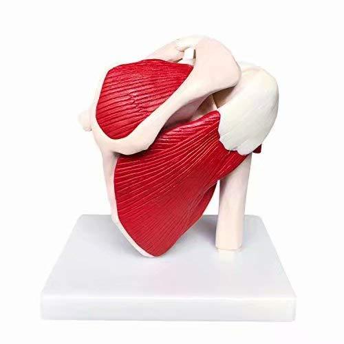 Alkita Musculoskeletal Structure Shoulder Joint Model Teaching Aids Anatomy Skeleton Study Model