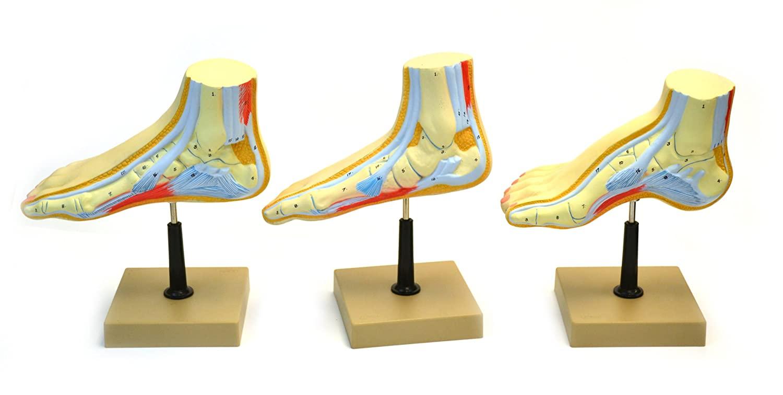 Eisco AM132AS Model, Human, Cross Section, Foot