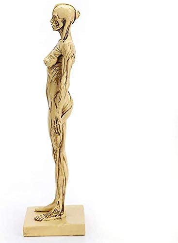 Yangs Human Body Muscle and Skeleton Anatomical Model,Female Anatomy Figure,Applicable to Schools,Hospital,in Physical Health Teaching