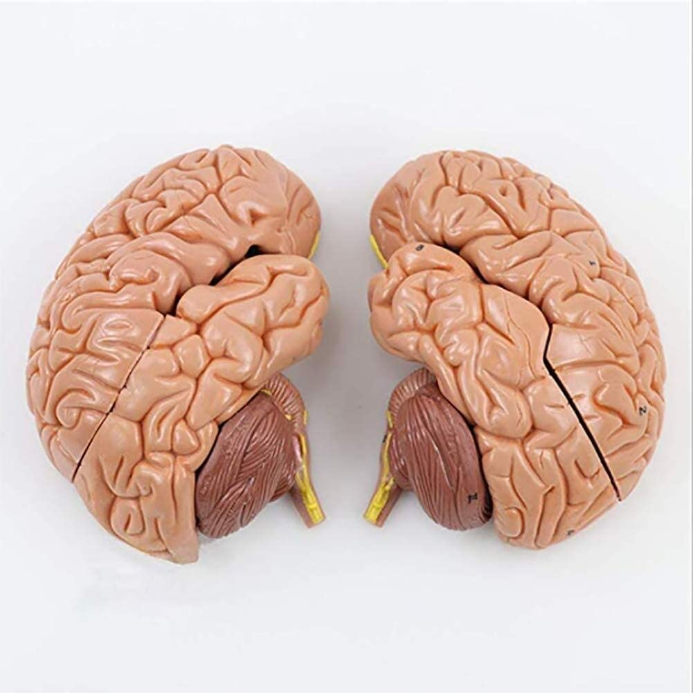 8-Part Human Brain Anatomy Model,Science Classroom Study Display Teaching Tool Can Be Cleaned