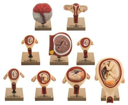 Eisco Labs Pregnancy Series - Embryonic/Fetal Development, Set of 9 Anatomical Models