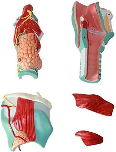 Yangs Human Throat Anatomical Model,PVC Material Teaching Demonstration Tools