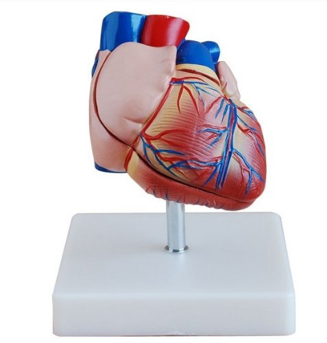 Doc.Royal Human Life Size Heart Simulation Model Medical Anatomy Type:DR-XF-0008