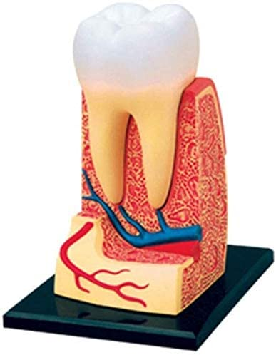 ZXY Human Teeth Anatomy Model Or Doctors Great Gift 23 Removable Organs Education 4D-Vision 0420