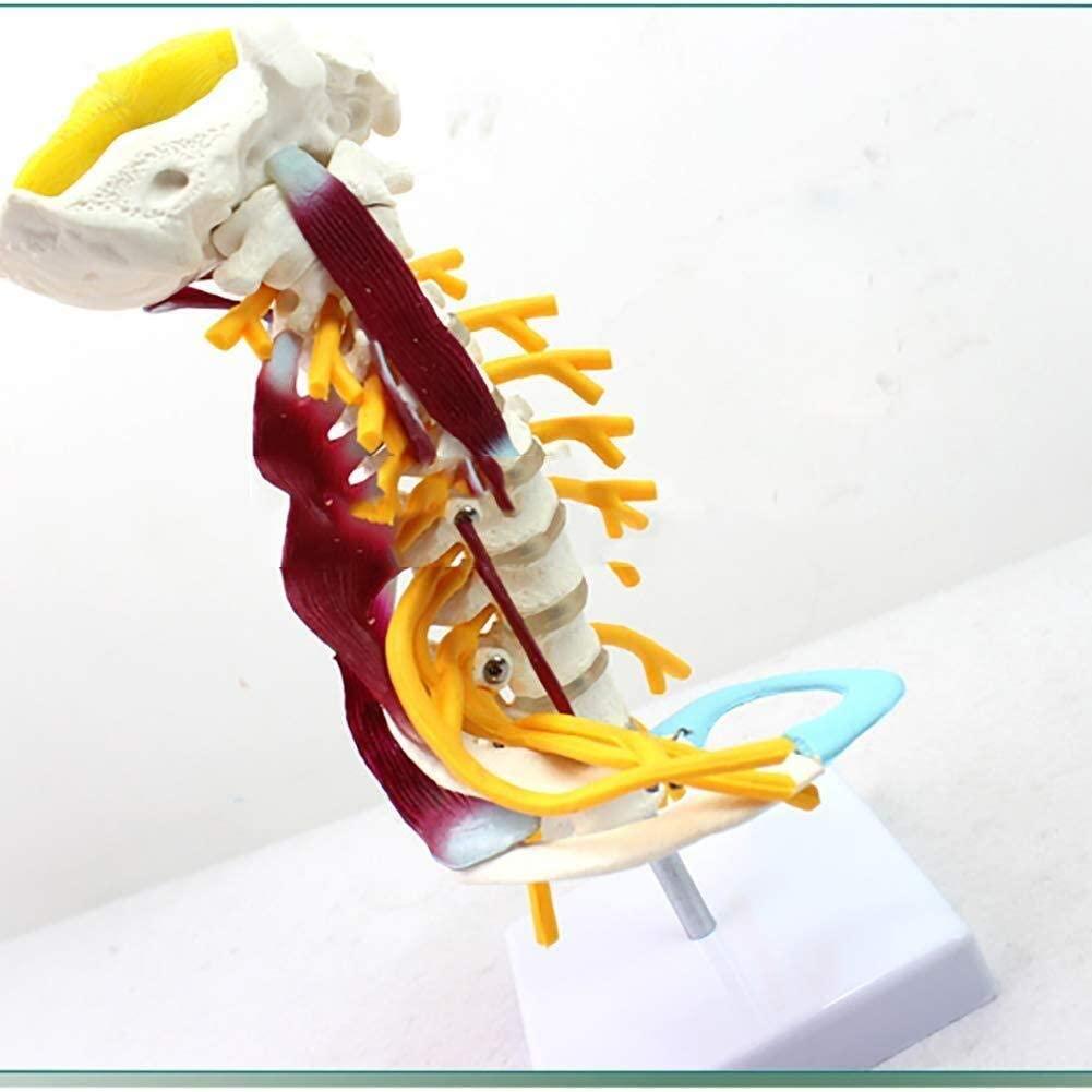 Educational Toy Model Human Cervical Vertebrae Model Life Size Muscle Neurological Model Skeleton Bone Specimen Model Medical Teaching Model Educational Medical Model