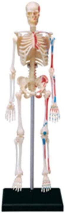 4D Human Skeleton Organ Anatomical Model Puzzle Assembling Toy