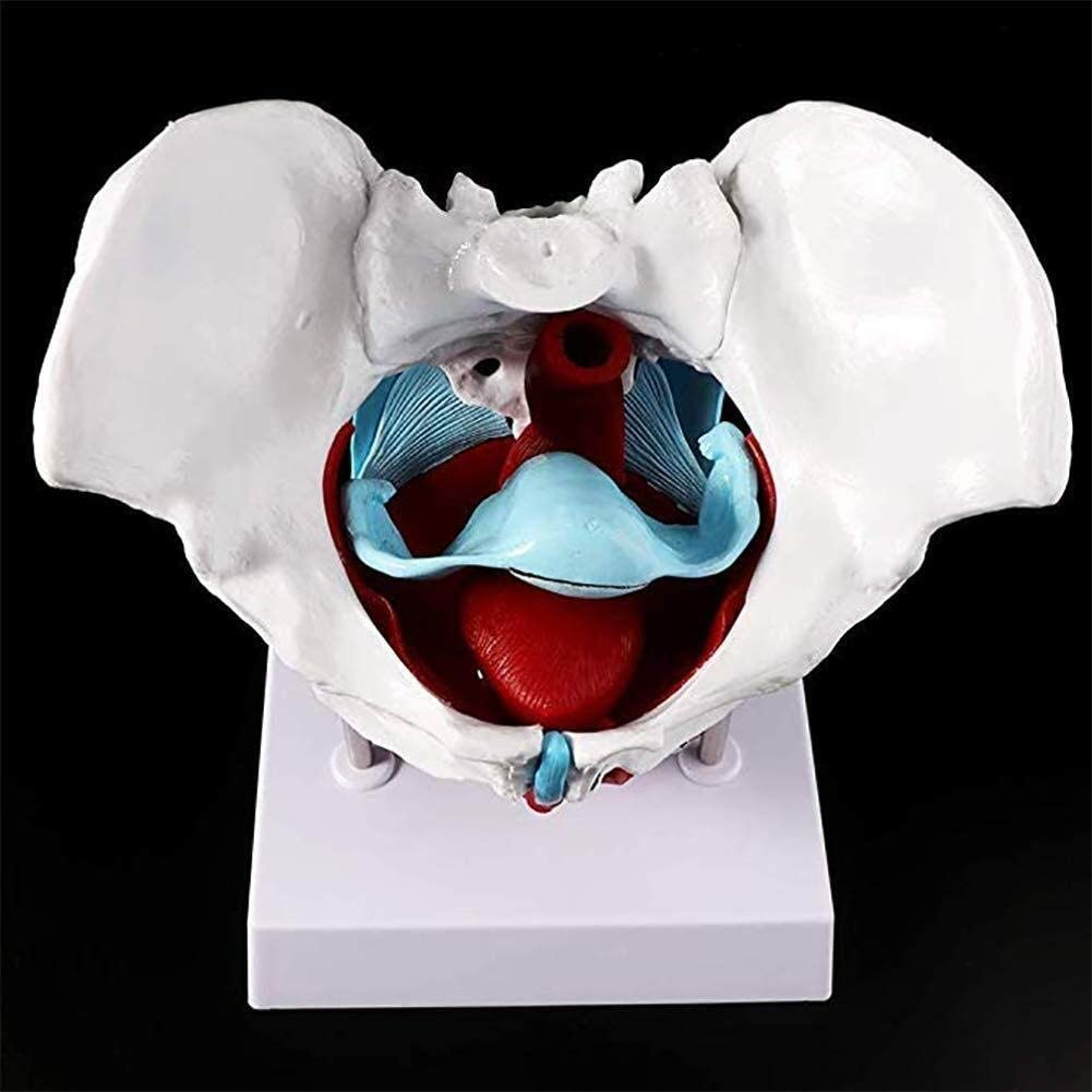 Yangs Human Pelvis Model,Female Pelvic Floor Muscle Anatomical Model Class Study Presentation Tools
