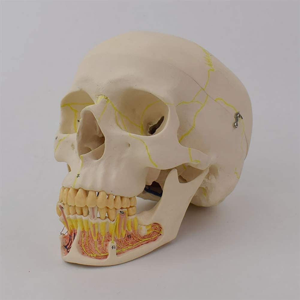 Yangs Removable Skull Cap,Human Adult Skull Anatomical Model Applicable to Schools,Hospital