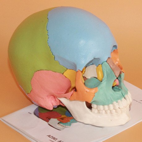 22-part Didactic Colored Dental Power Human Medical Anatomical Adult Osteopathic Skull Model