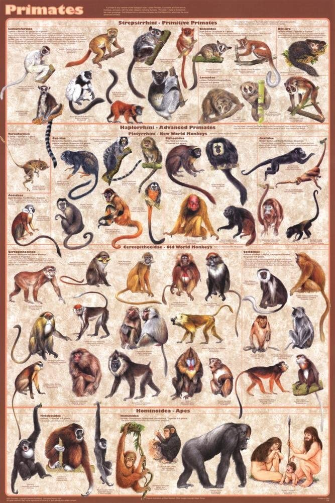 Laminated Primates Educational Science Chart Print Poster 24x36