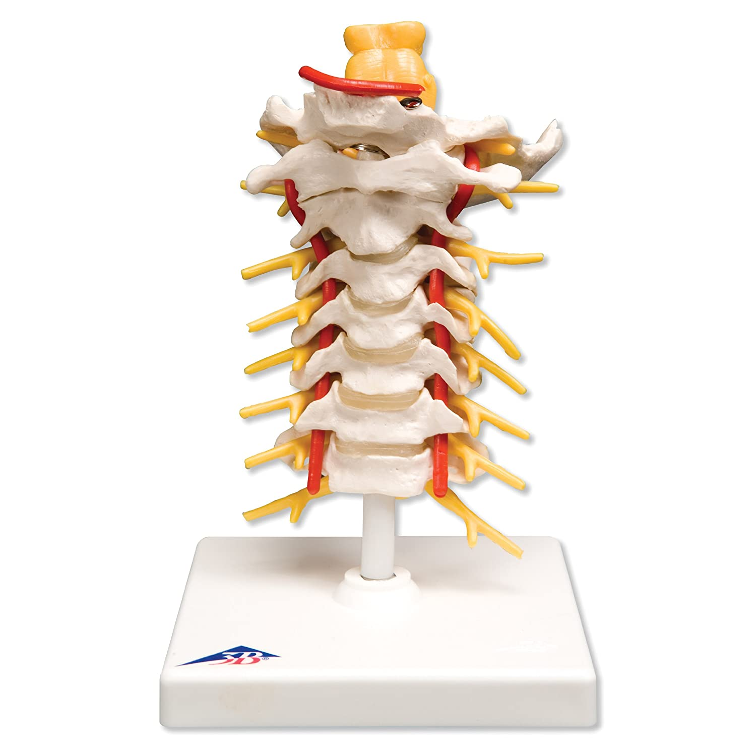 Cervical Vertebrae Model- Regional Spinal Series #1 of 3