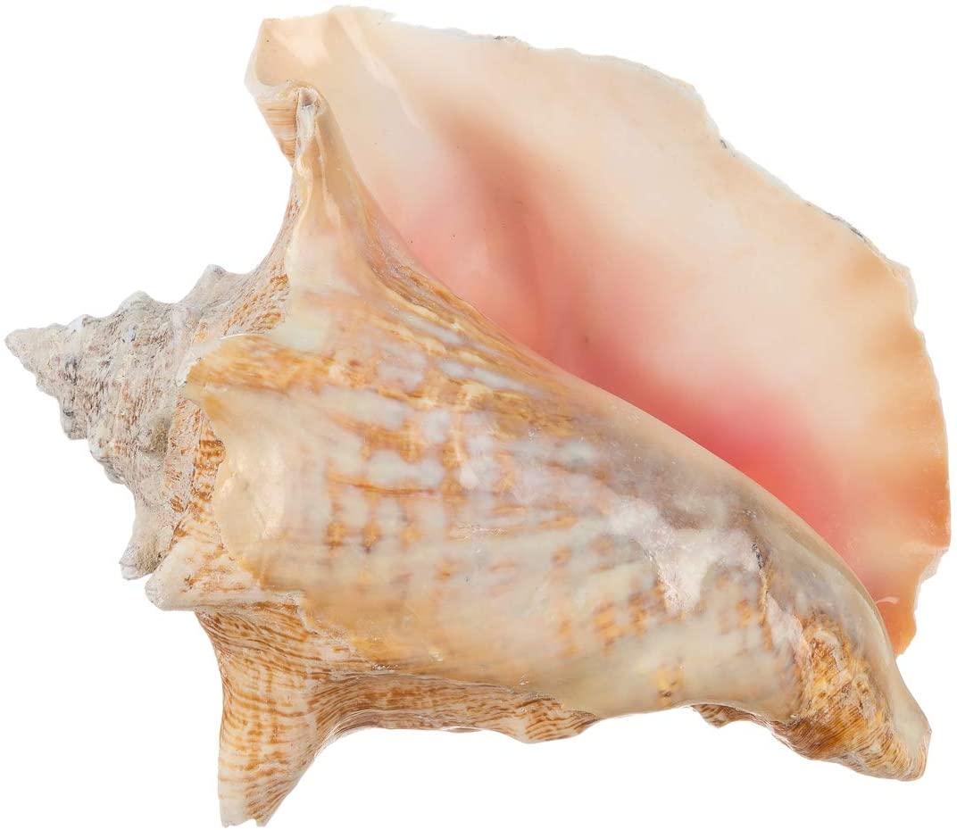 Conch Sea Shell | Garden Quality 6