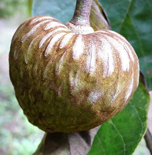 CHIRIMOYA Fruit Cuban ANNONA Tropical Edible Fruit Custard Apple Seed 5 Seeds