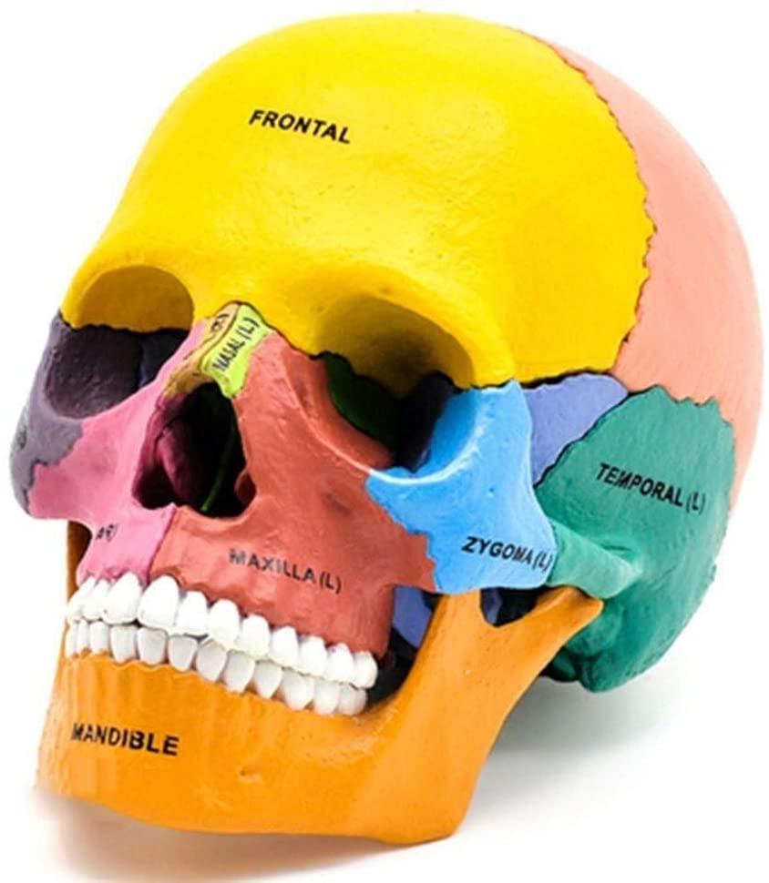 Educational Toy Model 4D Puzzle Assembling Toy Color Human Skull Organ Anatomical Model Educational Medical Model