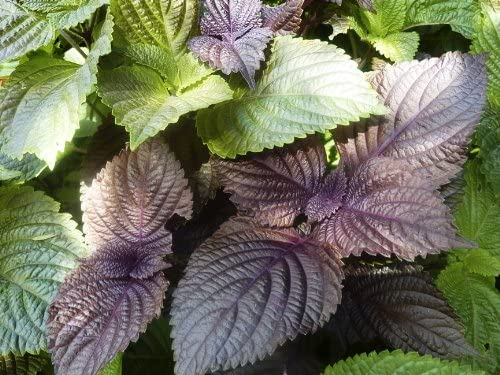 Perilla, Japanese Shiso (Perilla frutescens L.) Herbal Plant Heirloom, 240-270 Seeds