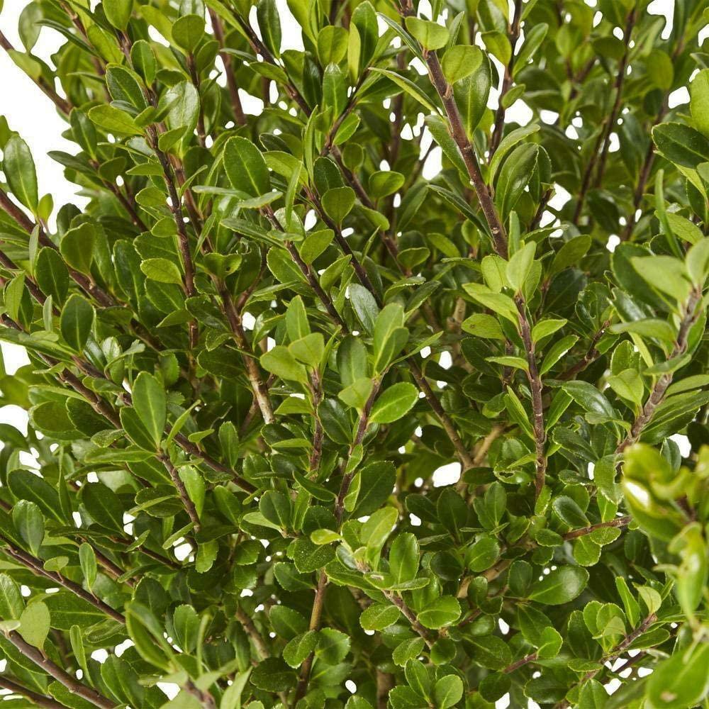 Home and Gardening – Live Plant - 2.25 Gal. Compacta Holly (Ilex) Shrub – CX05