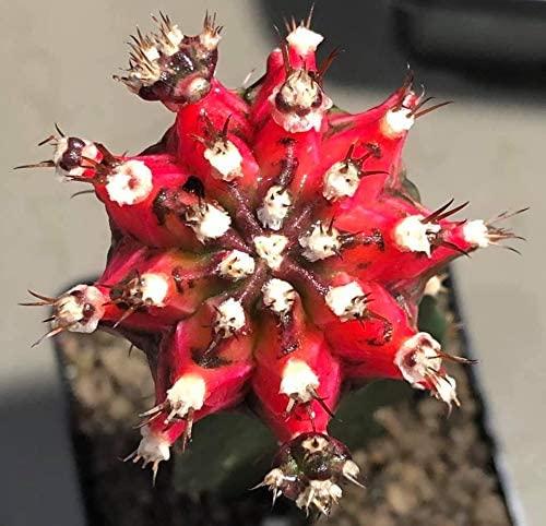 Cactus Plants Gymnocalycium mihanovichii VAR. 4.2 cm.(Rootstock)