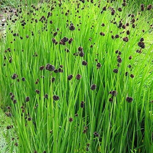 25 Seeds Ornamental Grass Juncus Starhead Grass Seeds UGNB1