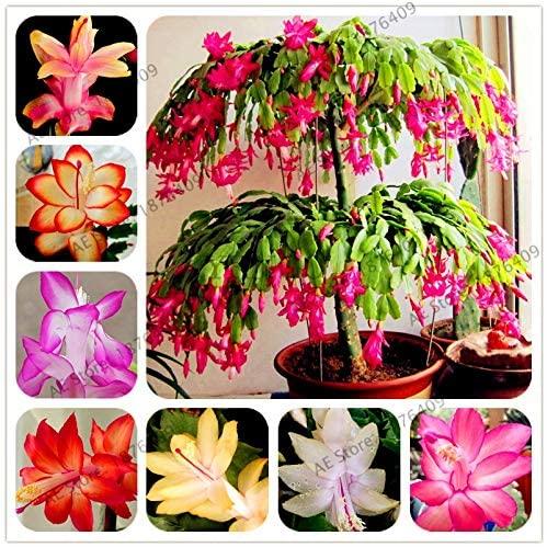 A2Z 12: 100pcs/bag Schlumbergera Flores Christmas Cactus plantas, Bonsai Plant for Home and Garden, Mixed Color, Easy to Plant