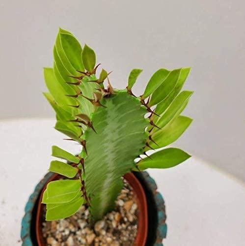 Cheap Beautiful Euphorbia Trigona Cactus Cacti Succulent Cactus Live Plant Get 1#AEP01YN