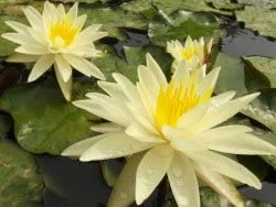 Hardy Waterlily Nymphaea 'Charlene Strawn' with Planting Container, Planting Media, and Fertilizer