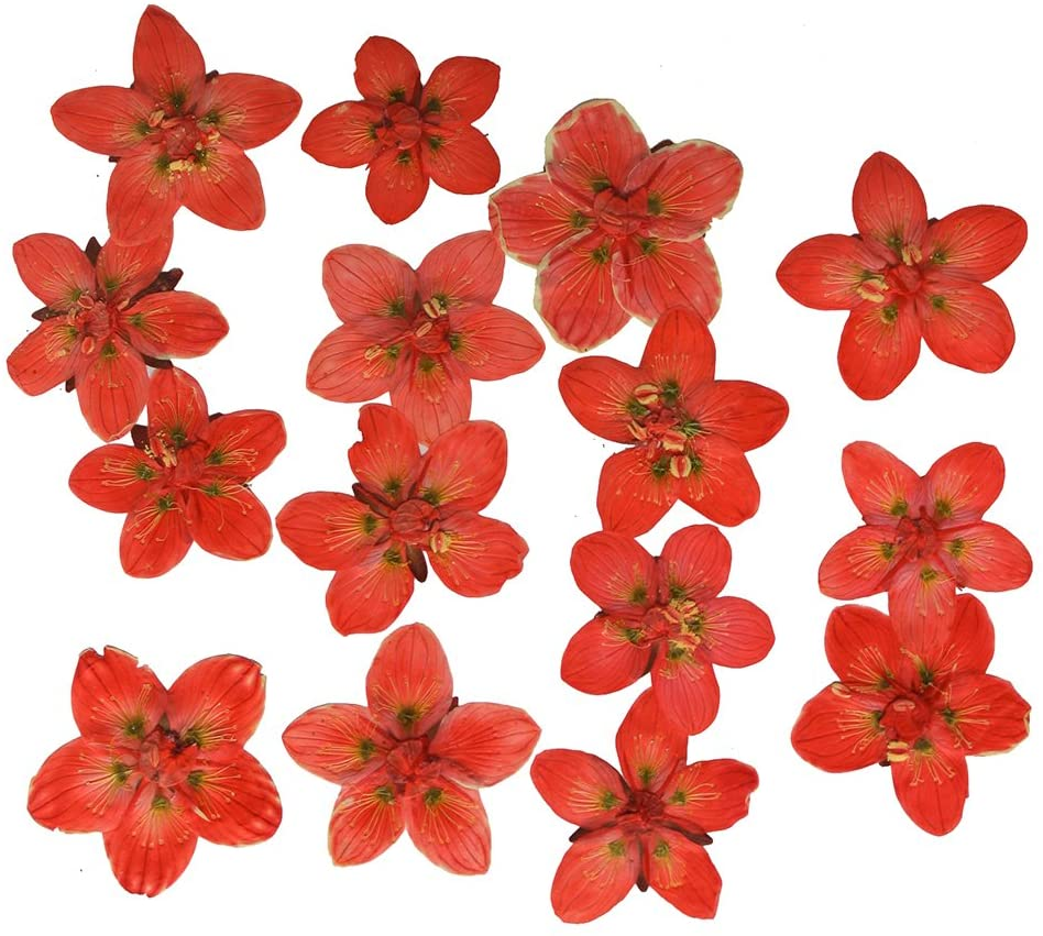 Pressed flowers, dark orange marsh grass of Parnassus 15pcs for art, craft, card making, scrapbooking